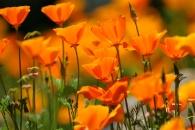 Buttermilk Trail poppies