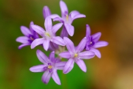 Wild Hyacinth at the Yuba